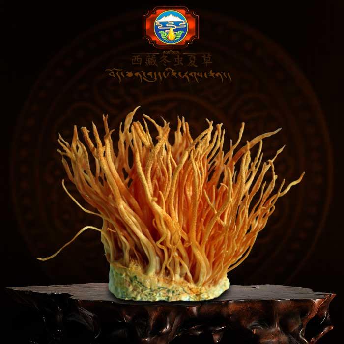 Đông trùng hạ thảo tươi Việt Nam