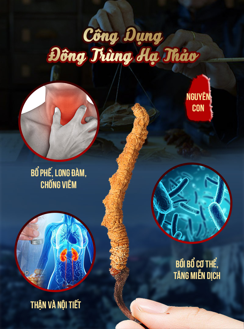 Công dụng của đông trùng hạ thảo Tây Tạng nguyên con
