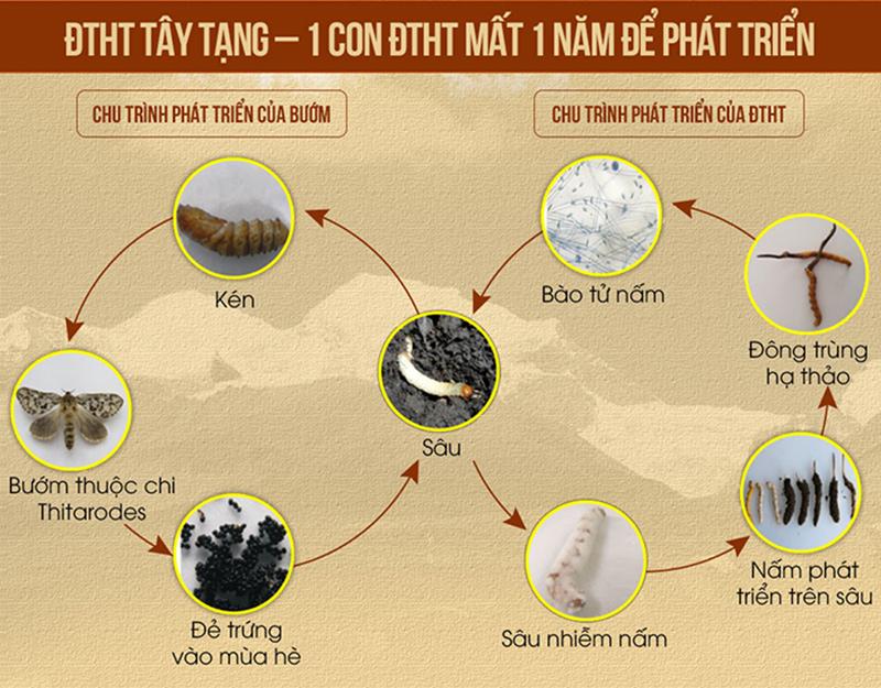 Quá trình sinh trưởng và phát triển của con đông trùng hạ thảo Tây Tạng