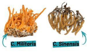 Thành phần của đông trùng hạ thảo tự nhiên và nuôi trồng
