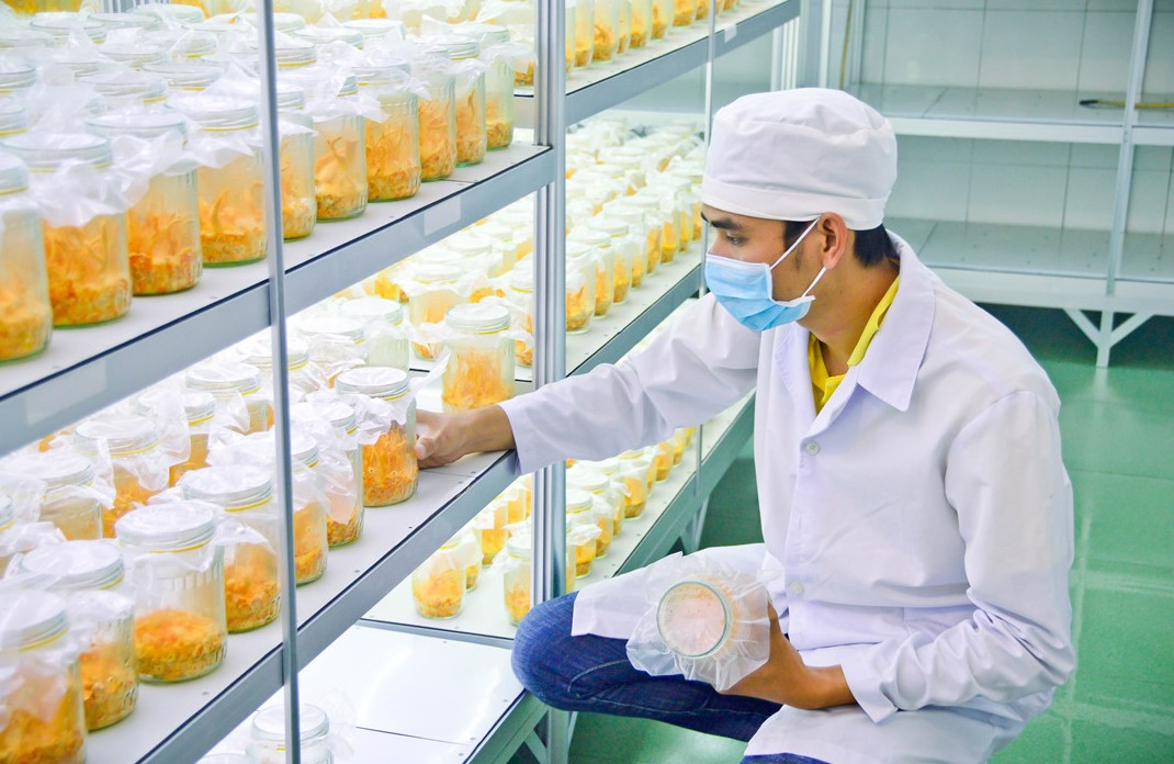 Quy trình nuôi đông trùng hạ thảo cần chú ý nhiều yếu tố