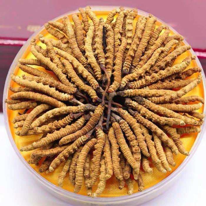 Đông trùng hạ thảo Tây Tạng hộp 100gr loại 500 – 600 con 2